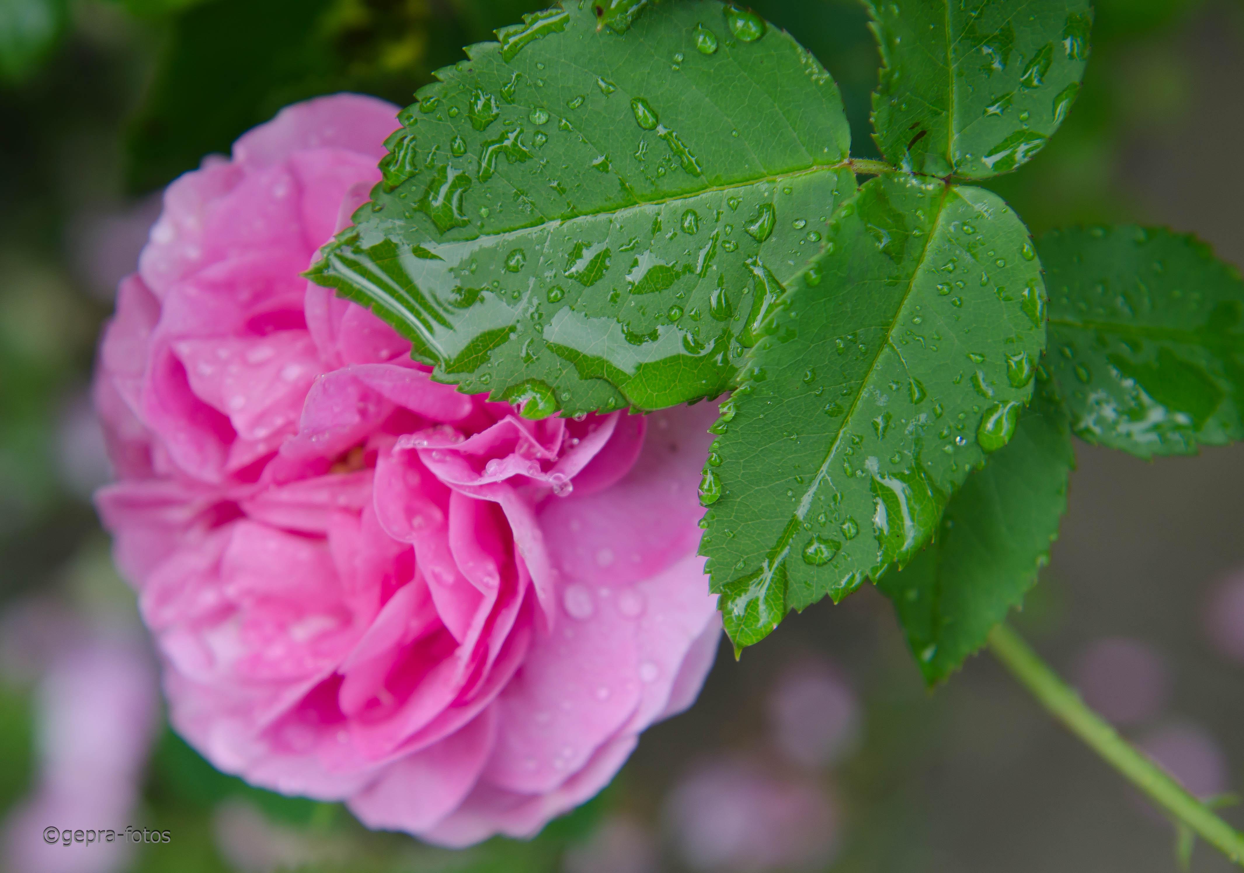 damaszener rose als heilpflanze welterbe klostermedizin. Black Bedroom Furniture Sets. Home Design Ideas