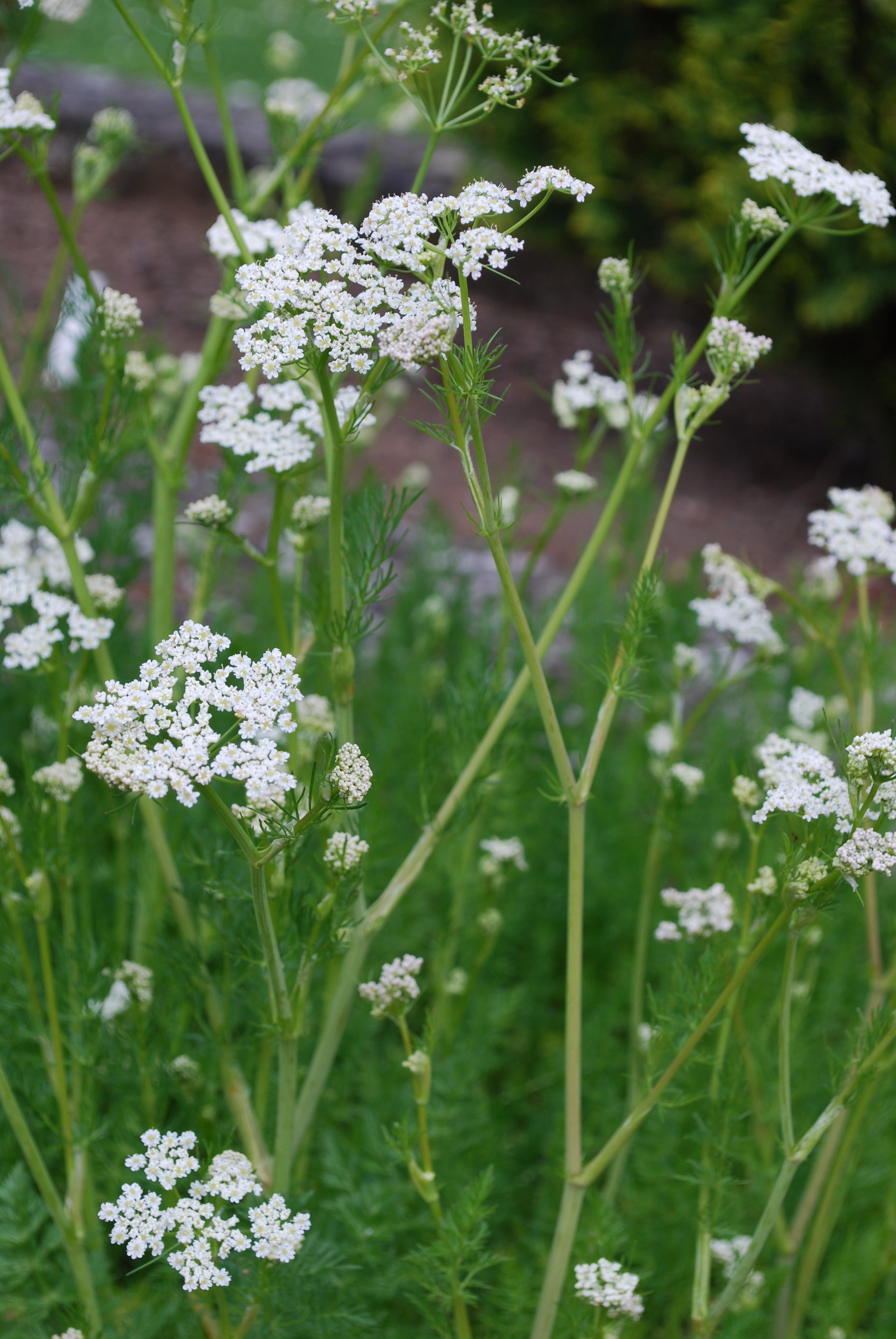 Arzneipflanze des Jahres 2016: Kümmel (Carum carvi)