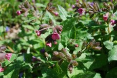 Pulmonaria officinalis - Lungenkraut 1.jpg